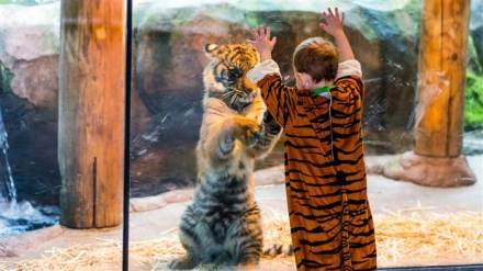 8c9623578-today-tiger-costume-zoo-131107-3-today-inline-large