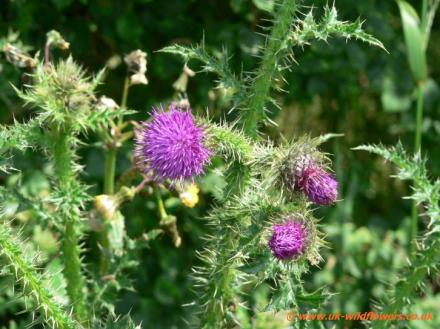 musk-thistles
